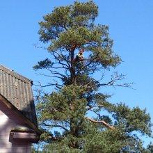 koka vainaga sakopšana, sauso zaru izzāģēšana
