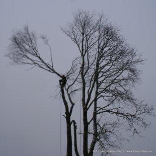 bīstamu koku zāģēšana Kurzemē