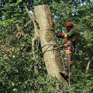 Bīstama koka zāģēšana Saulkrastos