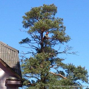 koka sauso zaru apzāģēšana